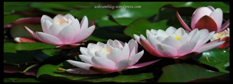 3lotus in water