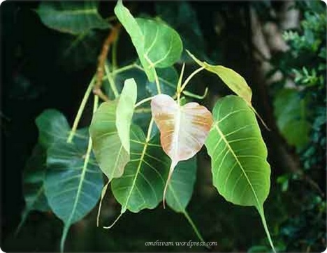 peepal or indian fig tree